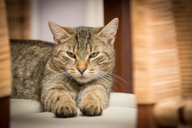 domácí kočka