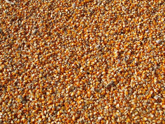 kukuřice zrno.jpg
