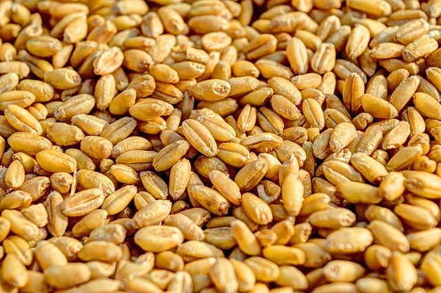 obilí – pšenice.jpg